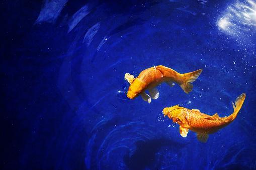 две золотых рыбки в синем море